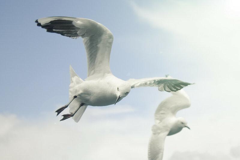 Две чайки